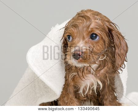 wet puppy after a bath, with bath towel