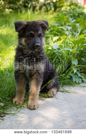 Puppy German Shepherd sitting in green grass