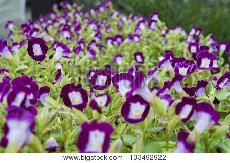 background nature violet flowers in garden beautiful
