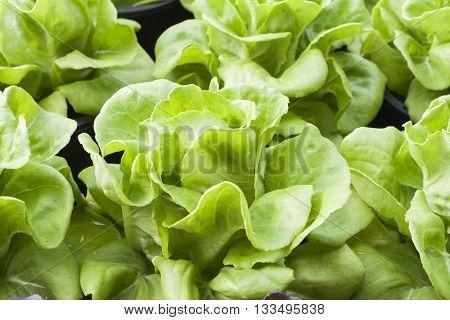 background nature vegetables is lettuce healthy in garden
