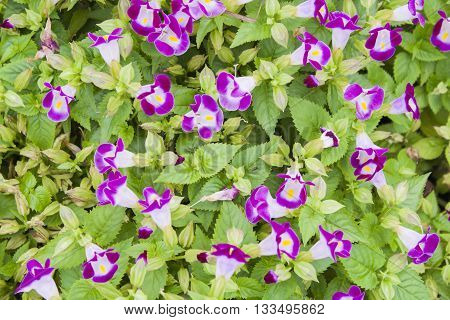 background nature violet flowers is beautiful in garden