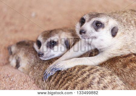 Meerkat sleep on the ground in sand background.