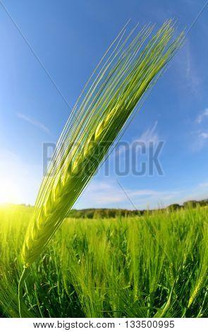 Green barley field in sunny day. Fisheye shot.