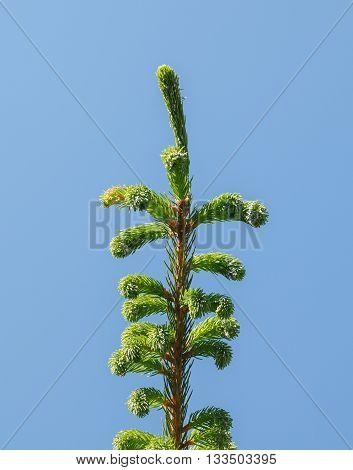Fir-tree Top