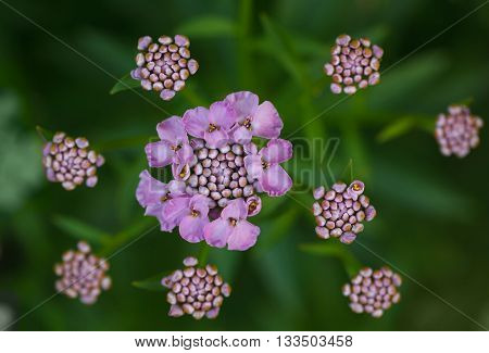 Macro of purple blooming inflorescence bunch from above view