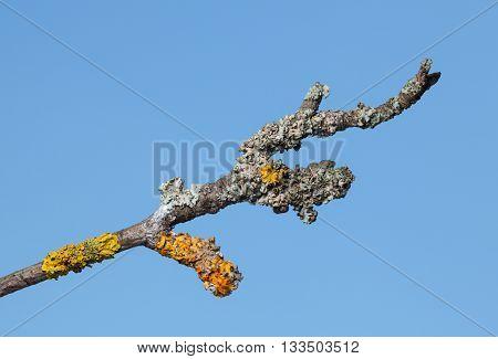 Wizen Twig