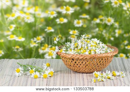 assembled chamomile flowers in in wicker basket on a background of chamomile flowers at sunny day