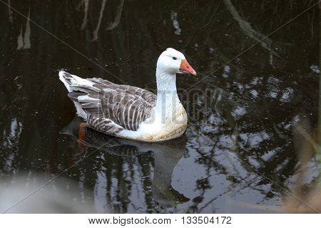 a feral goose swimming in a pond