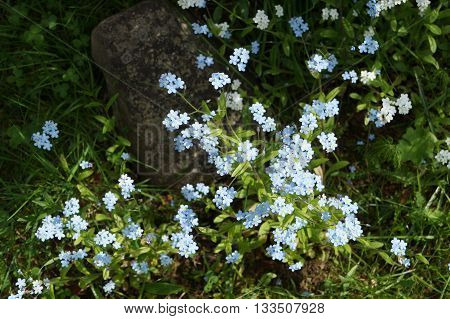 Forget-me-not blooms in may. Particularly good scattering of small blue flowers among the bright green spring grass.