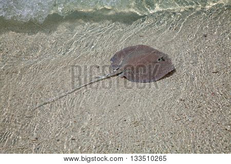 Stingray in the shallow water
