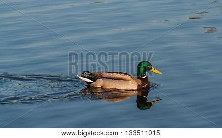 Young duck floats on a calm lake