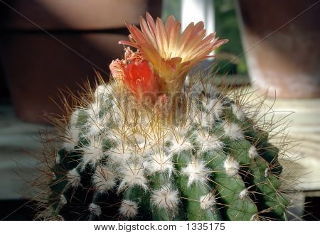 Cactus With Two Flowers