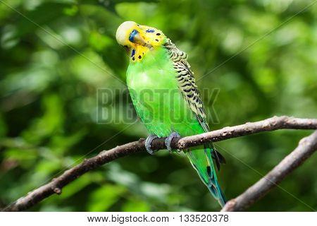 Green Budgerigar (Melopsittacus undulatus) sitting on a branch.