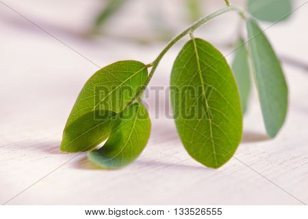 Moringa (Other names are Moringa oleifera Lam. MORINGACEAE Futaba kom hammer vegetable hum Moringa hum bug Moringa bug Hoo) leaf on wooden board background