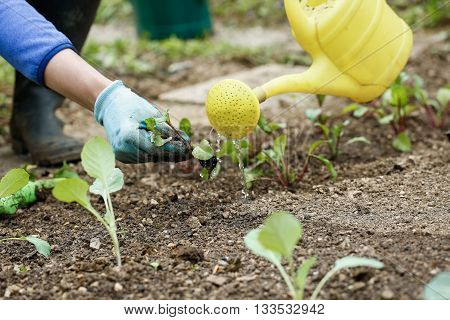 Gardener watering and fertilising freshly planted broccoli seedlings in garden bed for growth boost. Organic gardening healthy food nutrition and diet self-supply and housework concept.
