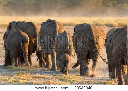 Group of elephants shot at the back in Amboseli Kenya