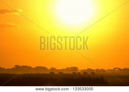Sunset in Amboseli Kenya. Silhouettes of elephants walking in front of the sun