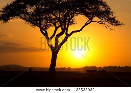 Typical african sunset with acacia trees in Masai Mara Kenya. Elephant silhouettes in front of the sun.