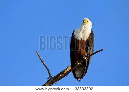 Fish Eagle staying on a tree in Naivasha Lake Kenya. Horizontal shot