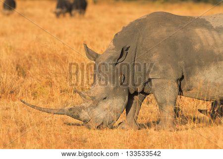 Portrait of white rhino in Nakuru Park Kenya during the dry season