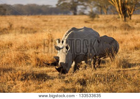 Group of white rhinos in Nakuru Park Kenya during the dry season