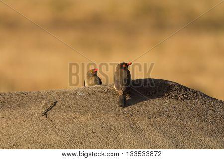 Oxpeckers on the back of a buffalo in Masai Mara Kenya