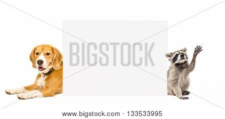 Beagle and raccoon behind a banner isolated on white background