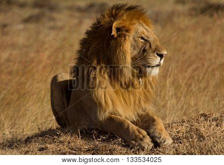 Male lion lying in the grass at sunset in Masai Mara Kenya. Shot at sunset. Horizontal shot side view