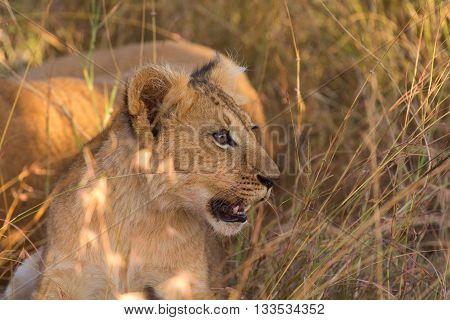 Portrait of a lion cub in Masai Mara Kenya