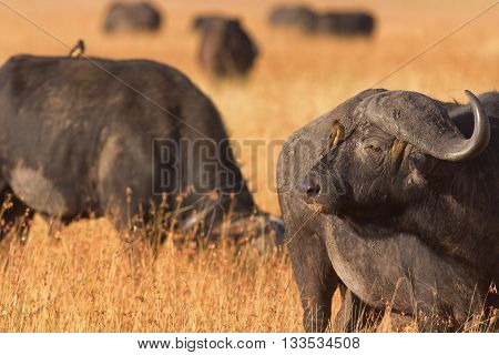 Male buffalo with oxpecker on its nose. Shot at sunset in Masai Mara Kenya. Looking away.