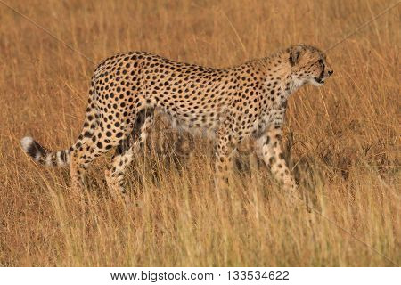 Male cheetah walking in grass and looking for pray in Masai Mara Kenya. Side view.