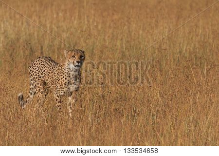 Male cheetah walking in grass and looking for pray in Masai Mara Kenya
