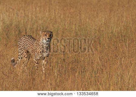 Male cheetah walking in grass and looking for pray in Masai Mara Kenya