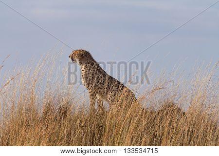 Male cheetah sitting in high grass of Masai Mara Kenya.
