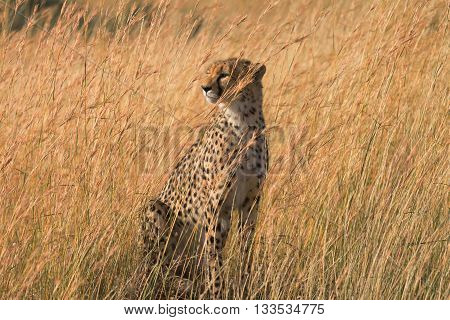 Male cheetah walking in grass and looking for pray in Masai Mara Kenya.Looking left.
