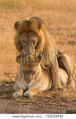 Mating lions in Masai Mara Kenya during the dry season. Vertical shot