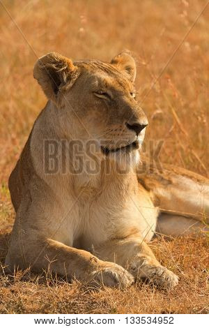 Female lion lying in the grass at sunset in Masai Mara Kenya. Eyes closed