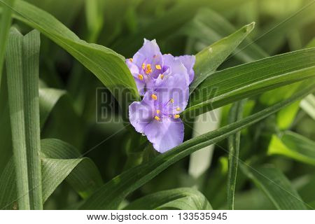 beautiful blue summer flowers of Tradescantia occidentalis(Spiderwort)