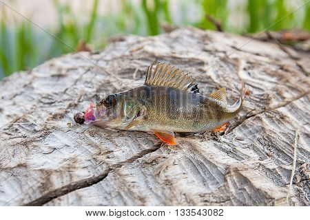 Perch fish just taken from the water on natural background. Perch fish with silicon bait.