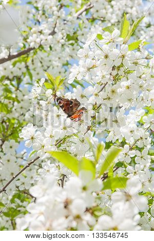 Peacock Butterfly On Cherry Blossom Against Blue Sky.