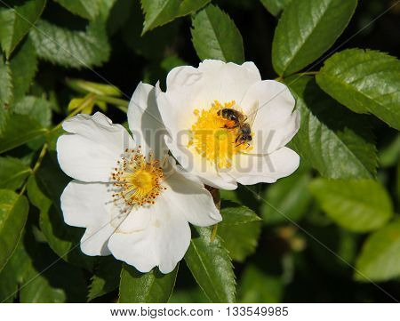 close photo of a bee feeding on white blooms of eglantine