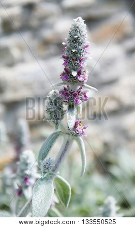 close photo of woolly hedgenettle with shaggy white leaves and small purple blooms