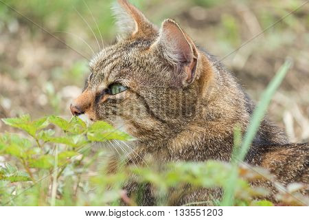 poster of Portrait of green-eyed cat in nature. Serious cat, cat at home, proud cat, funny cat, grey cat, domestic animal, grey serious cat in blurry background, fat cat.