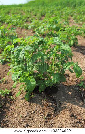 Potato field. Potato plant in the garden