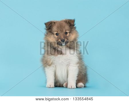 Shetland sheepdog cute sheltie puppy dog sitting on a blue background facing the camera