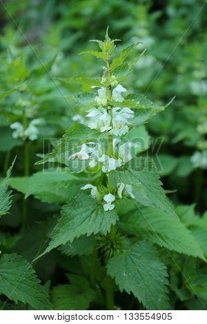 Lamium album commonly called white nettle or white dead-nettle