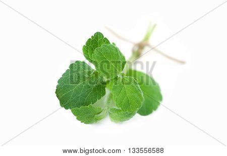 Fresh stevia leaves isolated on white background