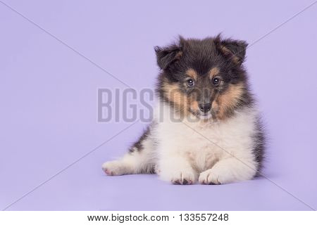 Cute shetland sheepdog sheltie puppy lying down facing the camera on a purple background