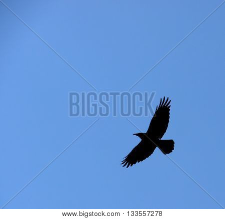 A black crow flies at the blue sky