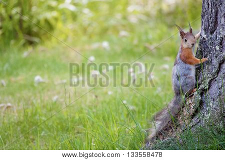 Small squirrel on the ground at summer. Warm green colors and blurred background. A wallpaper type image with lots of negative space and room for copy.